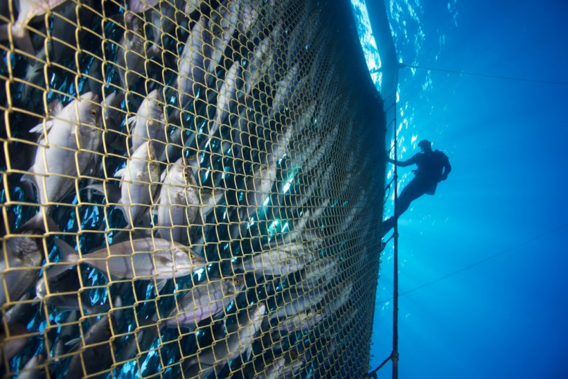 A diver works at one of Innovasea's open ocean aquaculture facilities.